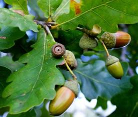 плоды дуба,желуди