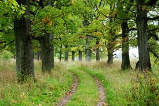 дубовая аллея,названия деревьев,дуб,лиственные деревья,фото лиственных деревьев