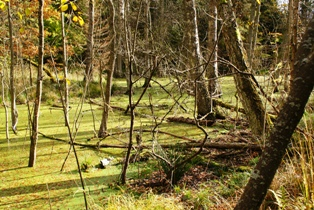 Заболоченный участок леса,лесные болота,болота,фото болот