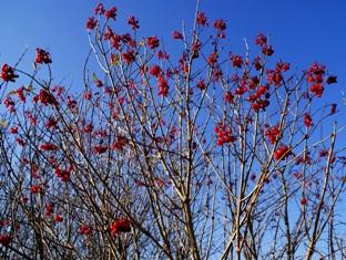 ягоды калины зимой,лиственные деревья,названия лиственных деревьев