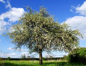 дикая яблоня,дерево