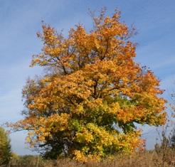 фото деревьев,дерево,клён