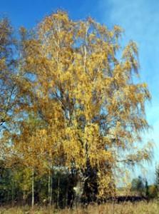деревья,дерево,береза,фото деревьев