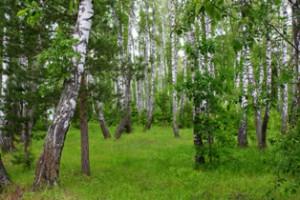 березовый лес,мир леса,живой лес
