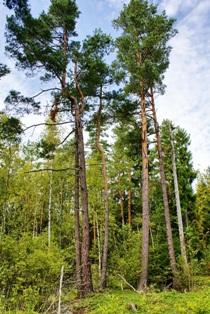 сосны,хвойные деревья,фото хвойных деревьев