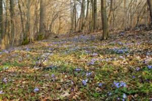 цветение печеночницы,мир леса,живой лес,фото леса