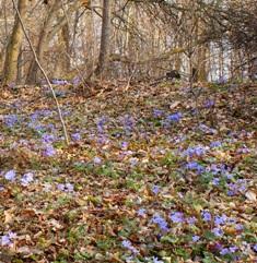 весенний лес,цветение печоночницы,фото весенних цветов,фото весеннего леса