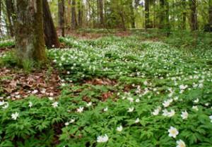 цветение ветреницы,мир леса,фото леса