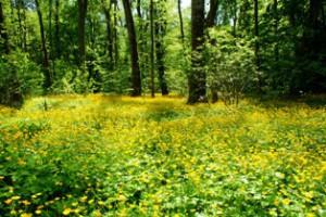 цветение лютика,мир леса,фото леса,растения в лесу