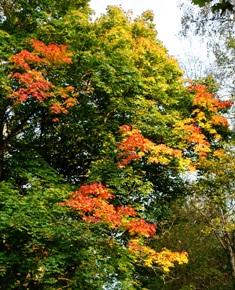 крона клена,лиственные деревья,фото лиственных деревьев