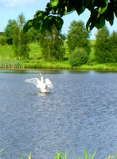 Лебедь,лесное озеро,фото лесных озер