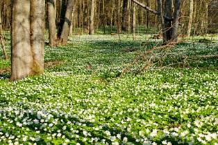 цветение ветреницы,фото весенних цветов,фото весеннего леса,весенний лес,весна в лесу