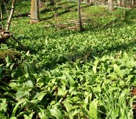 черемша ,весенний лес,фото весеннего леса