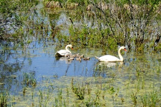 Семя лебедей,лесные озера,фото лесных озер.лесное озеро