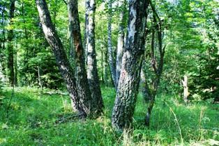 березы,березовые леса,деревья березы,фото березы
