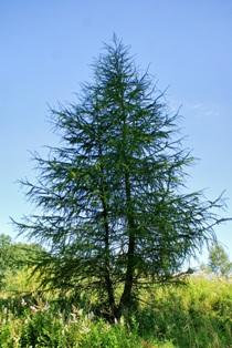 лиственница,хвойные деревья,фото хвойных деревьев
