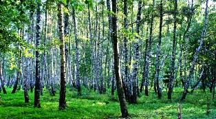 березовые леса,березы,деревья березы,фото березы