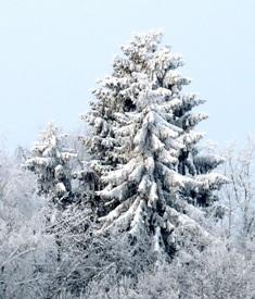 хвойные деревья,ель в снегу,фото хвойных деревьев,