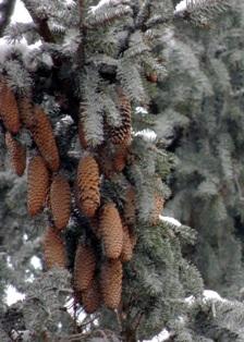 хвойные деревья,еловые шишки,хвойные породы деревьев