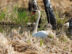 Лебедь,фото болот, болота,лесные болота