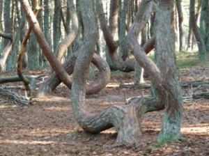 танцующий лес,мир леса,лес с искривленными стволами