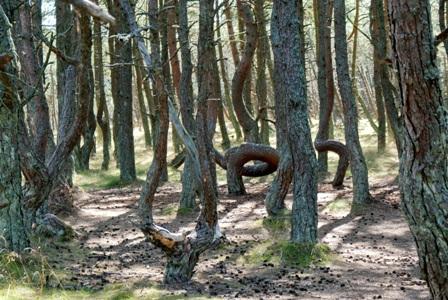 аномальный лес,танцующий лес, фото танцующего леса