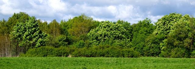 Цветение деревьев конского каштана по краю леса