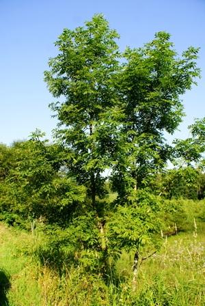 рябина,фото рябины,дерево рябины