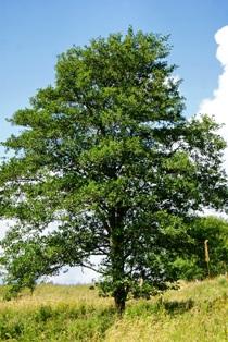 дерево ольха,ольха