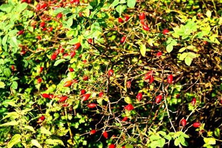 Плоды шиповника.шиповник,кустарники,кустарник,кустарники леса