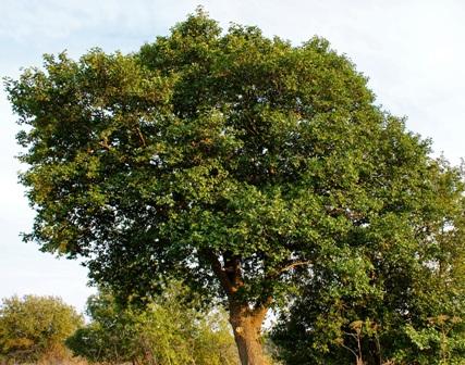 ольха,дерево ольха