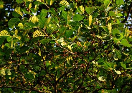 листья ольхи,ольха