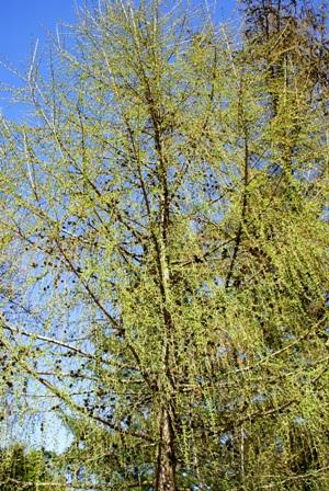 лиственница весной,лиственница весной,дерево лиственница