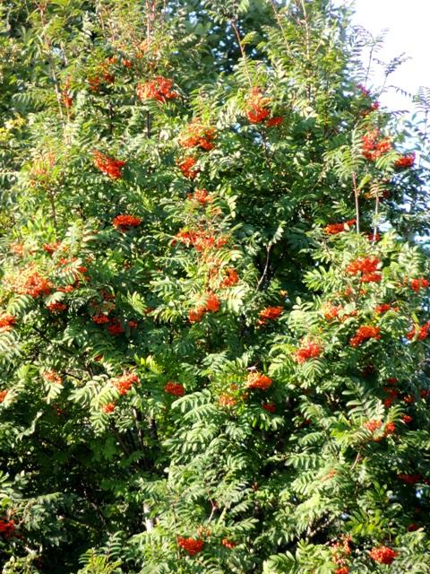 ягода рябины