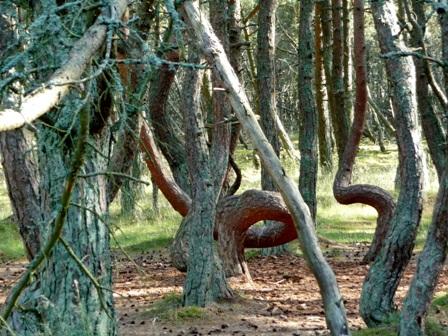 аномальный лес, танцующий лес,танцующий лес фото,куршская коса