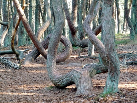 танцующий лес,танцующий лес фото,куршская коса