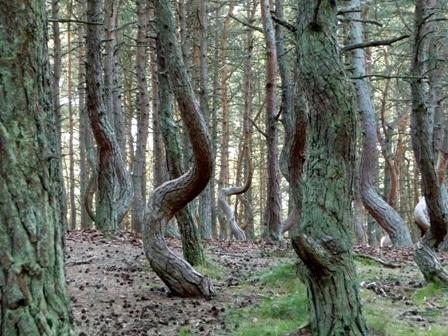аномальный лес, танцующий лес,куршская коса фото