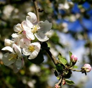цветы дикой яблони