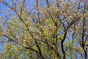 цветение клена ясенелистного