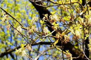 цветы клена ясенелистного