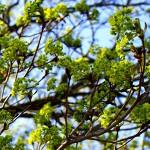 цветы клена остролистного,клен остролистный,клен платановидный,фото клена остролистного