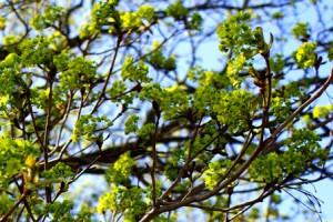 цветы клена остролистного,клен платановидный,фото клена  остролистного