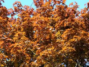листва клена красного