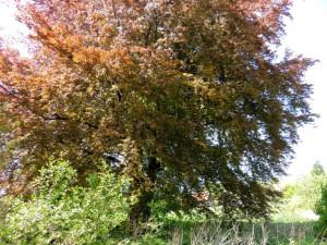 дерево бук,фото дерева бук,бук