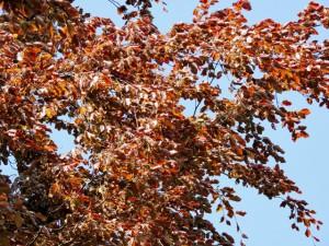 дерево бук,бук,фото дерева бук