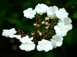 цветки калины,соцветие калины,фото цветов калины