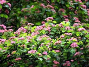 цветение боярышника с красными цветами