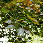 листья клена остролистного, листья клена платановидного