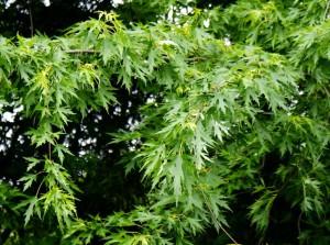 клен сахаристый,фото клена серебристого,листья клена серебристого
