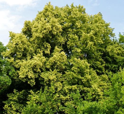 дерево липа,фото липы,липа